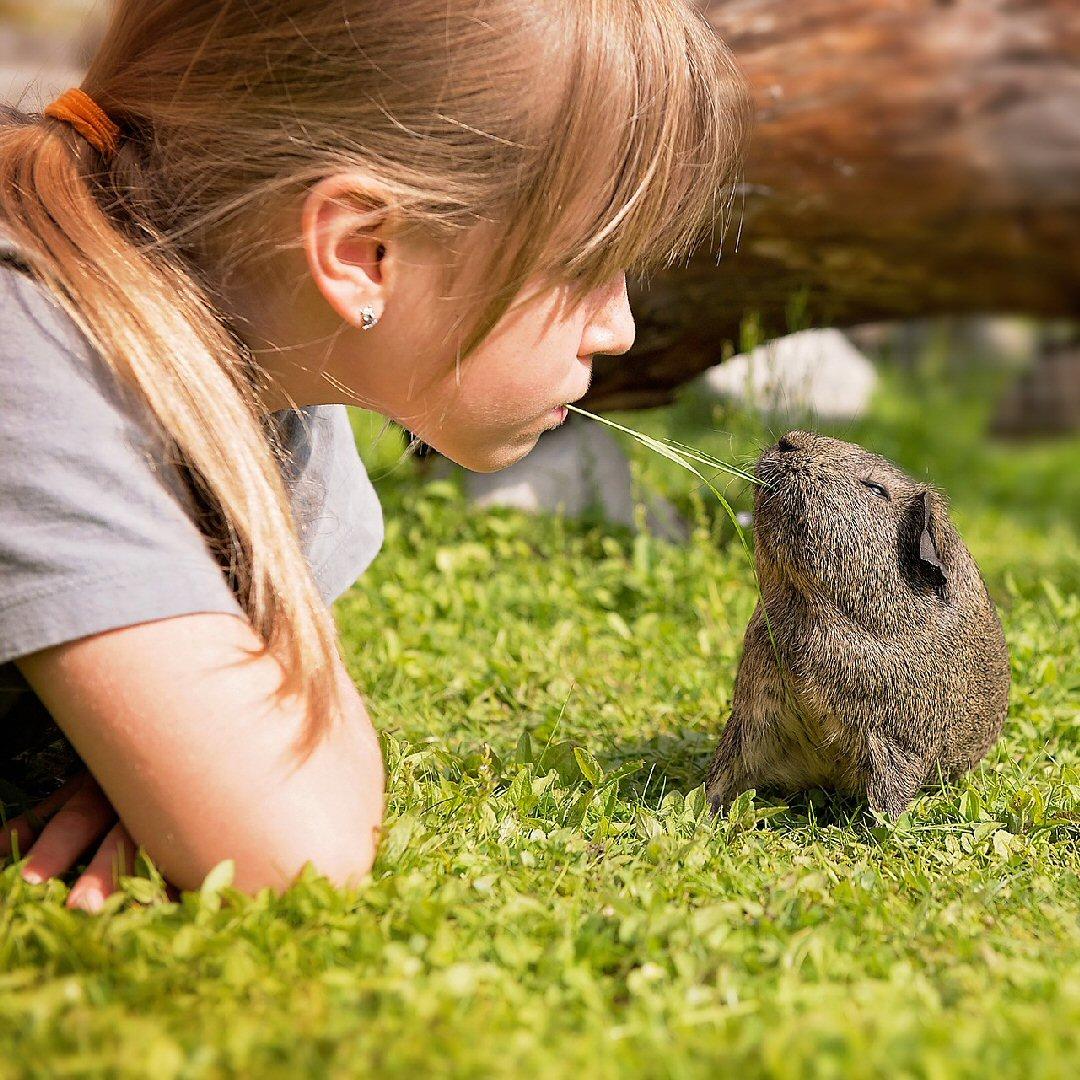 guinea pigs make great pets